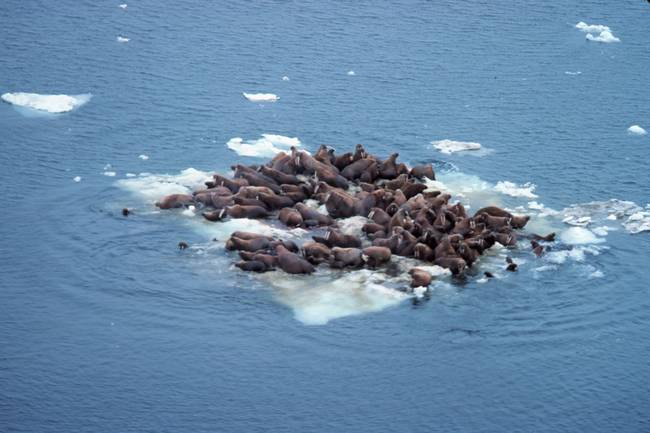 walrus-sea-ice_jpg_650x0_q70_crop-smart